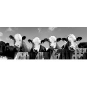 Curious Cows-Panoramic